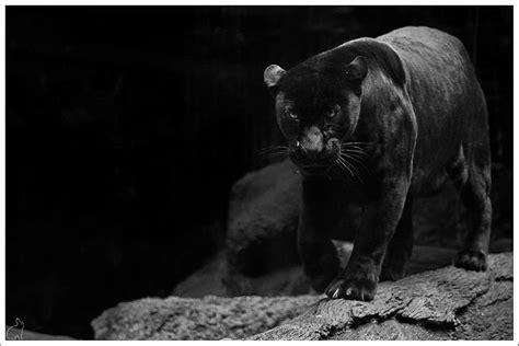 Animal Wallpaper Black