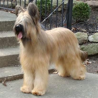 Briard Dog Dogs Breeds Scruffy Briards Breed