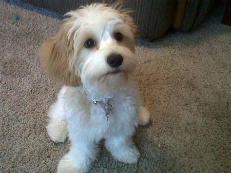 Do Cavachons Shed by Cavachon Greatdogsite