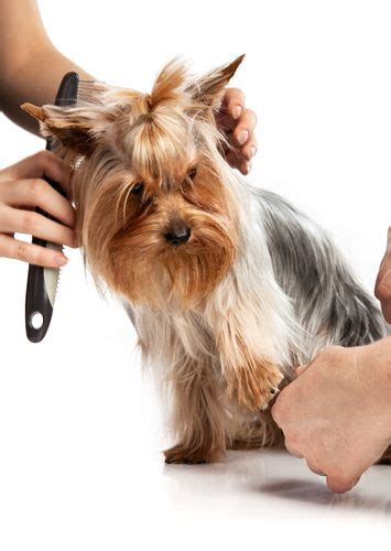 do yorkies shed hair what you need to about yorkies and their fur