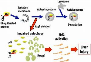 Keap1 degradation by autophagy for the maintenance of ...