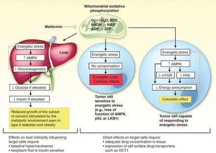 investigating metformin  cancer prevention