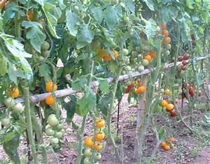Comment Tuteurer Les Tomates : s ance 7 le tuteurage avec une vid o pas pas ~ Melissatoandfro.com Idées de Décoration