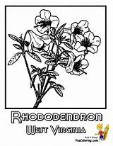 Coloring Virginia West Flower Rhododendron State Mountaineer Wv Flowers Yescoloring Wisconsin Sketch Wyoming Template Sheet Violet Wood sketch template