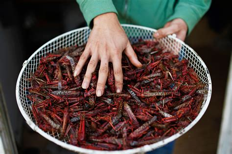 blatte de cuisine u n urges insects 8 popular bugs to try