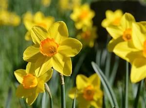 Blumen Lange Blütezeit : lange freude an narzissen praktische tipps f r garten ~ Michelbontemps.com Haus und Dekorationen