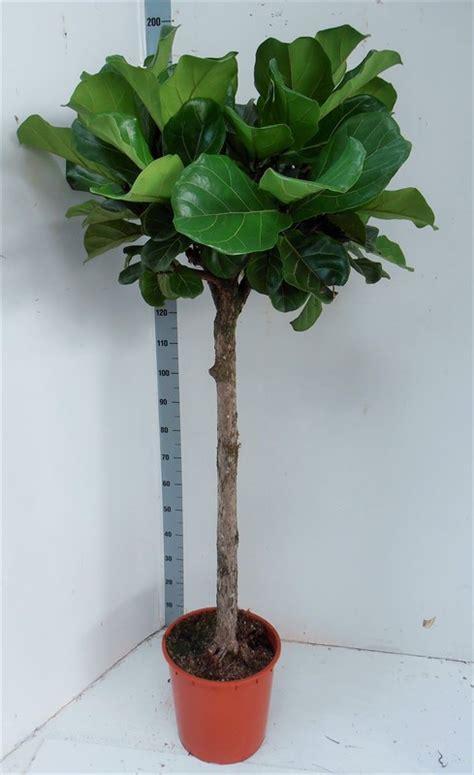 ficus lyrata arnott mason plant groups ficus