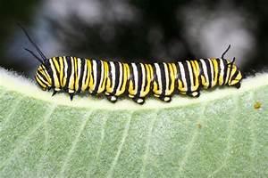 Andrew Halverson Monarch Caterpillar   The National