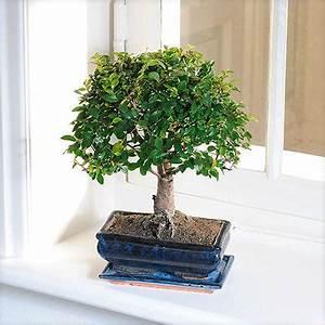 Bonsai Kaufen Berlin : bonsai zelkova von auf kaufen ~ Orissabook.com Haus und Dekorationen