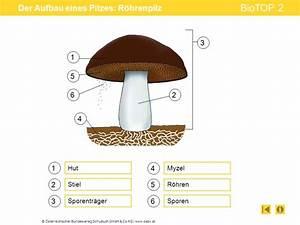Aufbau Eines Berichts : der aufbau eines pilzes r hrenpilz ppt video online herunterladen ~ Whattoseeinmadrid.com Haus und Dekorationen