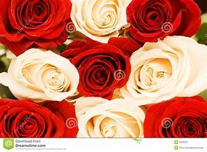 Background Of The Red And White Roses Stock Image - Image ...