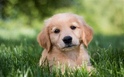 Retriever Golden Wallpapers Phone Puppies Dogs Puppy