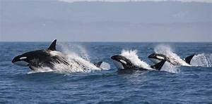 Killer Whales  Why More Than Half World U0026 39 S Orcas Are