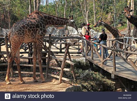 thailand 2010 chiang mai zoo giraffe meets visitors at chiang mai zoo thailand stock photo royalty free image 28246448 alamy