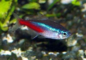 Neon Tetra Gallery The Fish Bowl