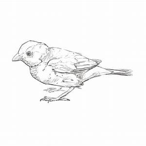Sparrow Drawing Outline