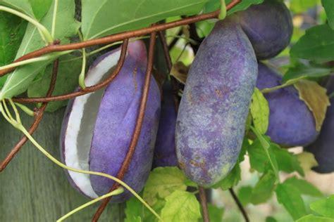 Akebia Quinata  Chocolate Vine  Wild Fruits, Vital