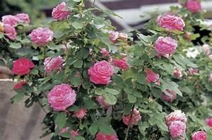 Schädlinge An Rosen : sch dlinge und krankheiten auf den rosen was ist zu tun ~ Lizthompson.info Haus und Dekorationen