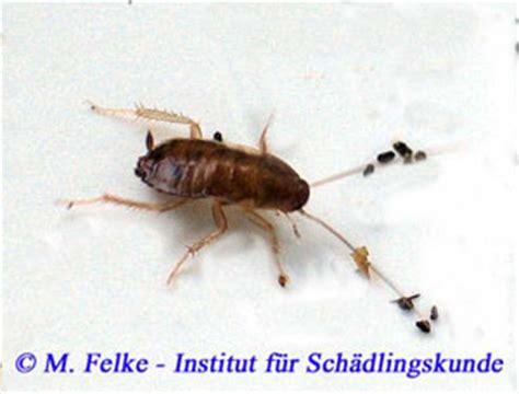 Gegen Küchenschaben by Kakerlaken Blattodea