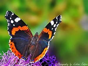 Bedeutung Schmetterling In Der Wohnung : der admiral dieser wundersch ne schmetterling saugt an bl ten und an fallobst schmetterlinge ~ Watch28wear.com Haus und Dekorationen
