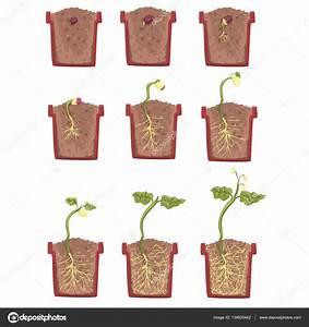 Was Brauchen Pflanzen Zum Wachsen : pflanzen sie samen wachstum entwicklung und verwurzelung in den blumentopf klassische botanik ~ Frokenaadalensverden.com Haus und Dekorationen