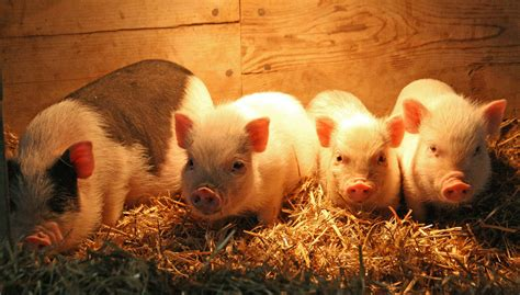 baby pot belly pigs baby pot belly pigs here are some of our new baby pot bell flickr