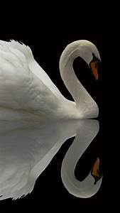 Wallpaper Swan, reflection, cute animals, Animals #4878
