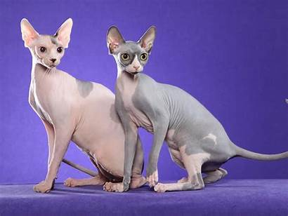 Cat Sphynx Wallpapers Cats Hairless Sphinx Bald