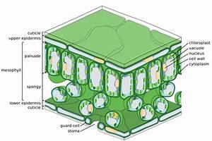 File Leaf Tissue Structure Svg