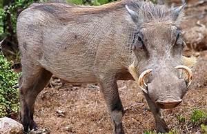 Giant Wild Boar Attack | www.pixshark.com - Images ...