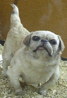extinct dog breeds  dogs  pinterest