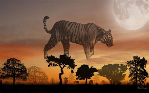 hd tiger sunset  wallpaper