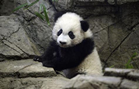bei bei giant panda bei bei turns  pictures cbs news