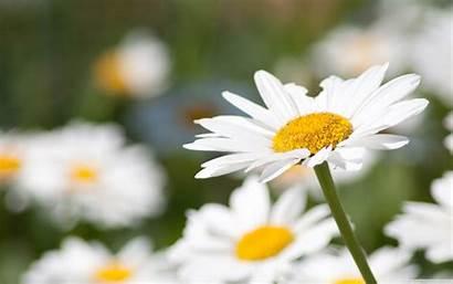 Daisy Desktop Wallpapers Flowers Pixelstalk Daisies Backgrounds