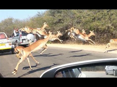 Cheetah Chases Impala Antelope Into Tourist's Car On
