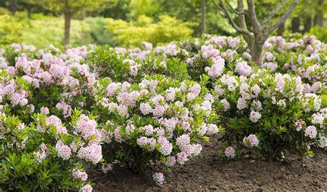 alternative zum buchsbaum neue rhododendron z 252 chtung ist m 246 glicher ersatz f 252 r buchs phlora de