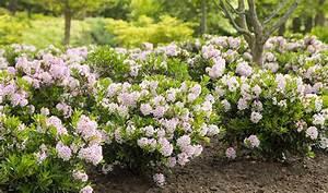 Ersatzpflanze Für Buchsbaum : neue rhododendron z chtung ist m glicher ersatz f r buchs ~ Buech-reservation.com Haus und Dekorationen