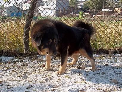 Mastiff Tibetan Breed Breeds Dog Dogs Lions