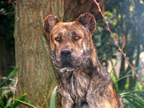 azorean cattle herding dog  called cao fila de sao