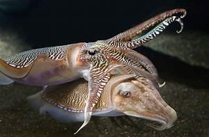 File:Georgia-Aquarium-Cuttlefish-RZ.jpg - Wikimedia Commons