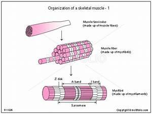 Organization Of A Skeletal Muscle