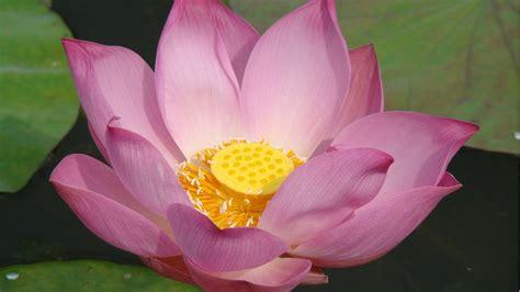 meaning of lotus flower wallpaper