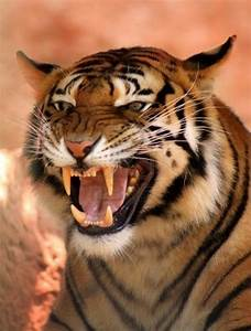 The gallery for --> Tiger Face Growling Wallpaper