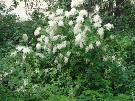 images of shrubs plants ocean spray holodiscus discolor native plants pnw