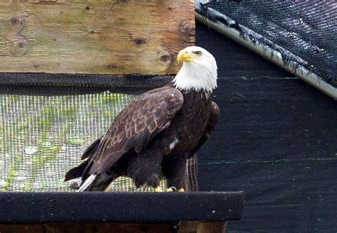 how to rescue a bald eagle audubon society of portland