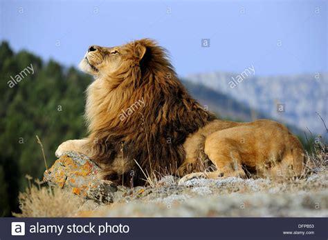 Barbary Löwe Panthera Leo, Ausgestorben In Wild Gefangen