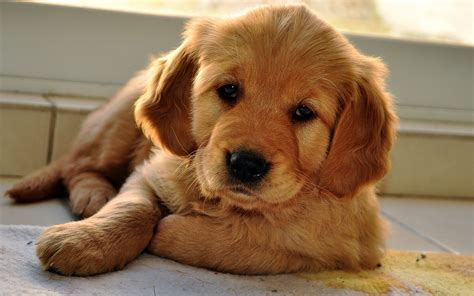 golden retriever petimals