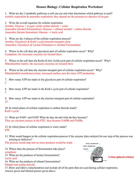 Photosynthesis And Cellular Respiration Worksheet High School Answers  Page Title1000 Images