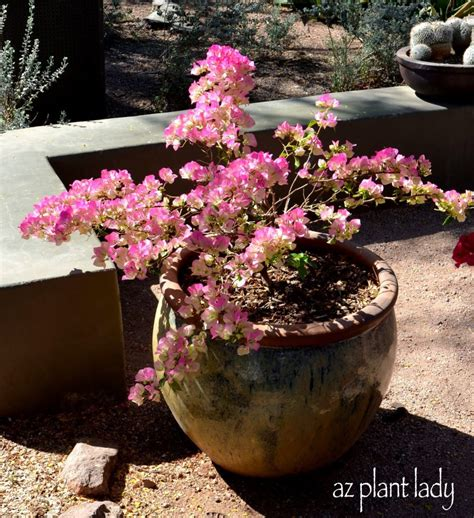 planting bougainvillea in pots container gardening growing bougainvillea in pots ramblings from a desert garden