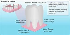 33 Tooth Diagram With Names
